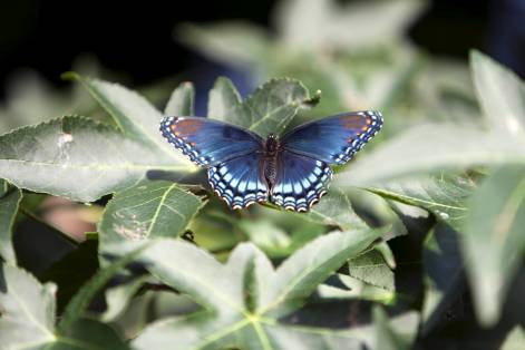 Blue-Spotted Purple Admiral Butterfly; Apex, NC