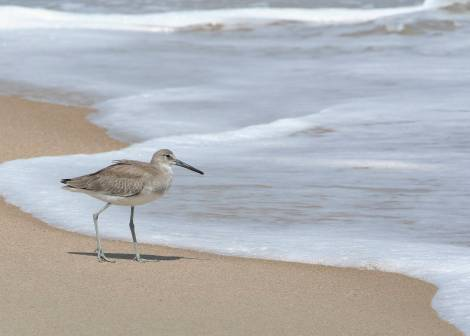 Sandpiper at Hatteras Beach, NC