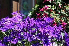 Purple Daisies 2