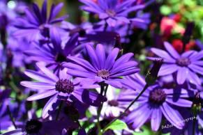 Purple Daisies DAZP